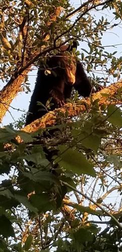 Bear in Tree Tiffany Olmstead